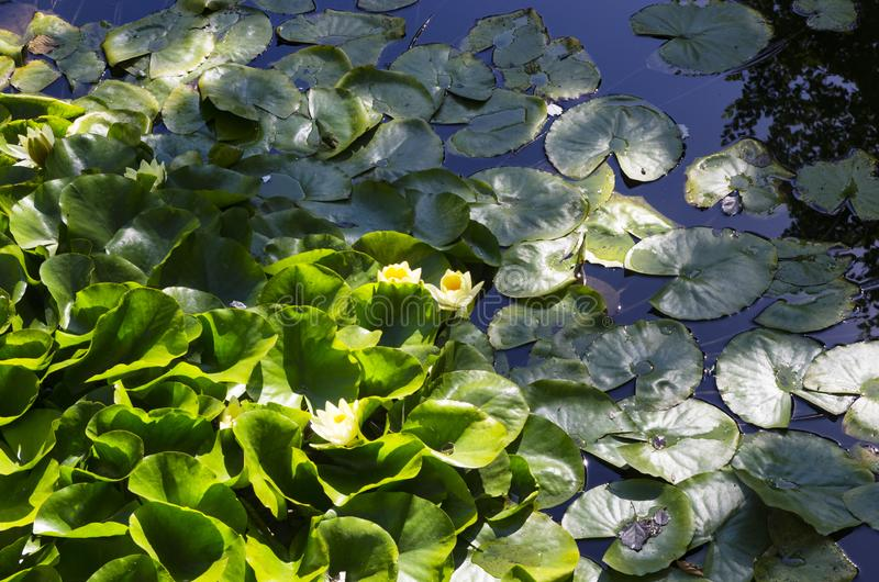 Yellow water lilies. Among the leaves royalty free stock image