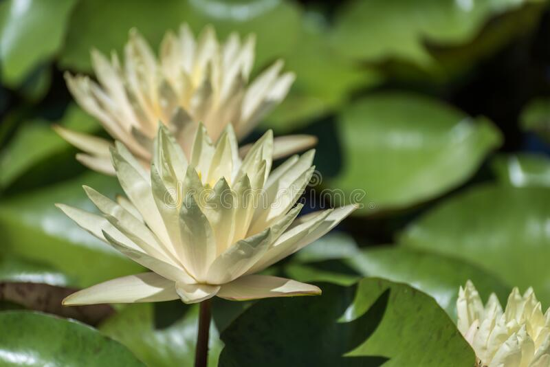 Yellow Water Lilies stock photos