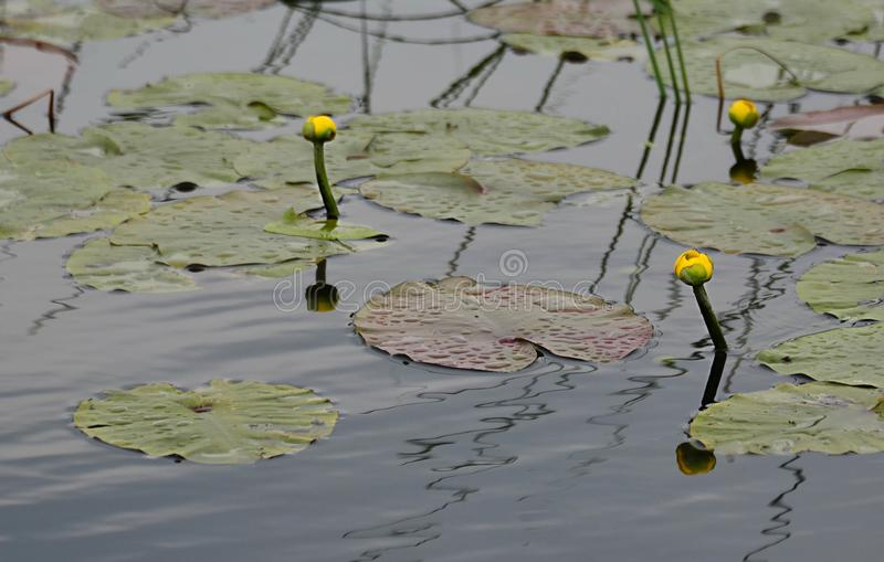Yellow water lilly buds and leafs stock photo