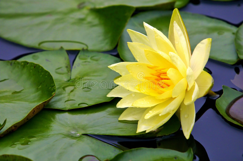 Download Yellow water-lily stock photo. Image of lotus, petals, summer - 700424