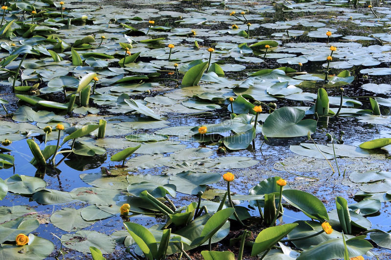 Download Yellow Water Lily Royalty Free Stock Photography - Image: 29710977