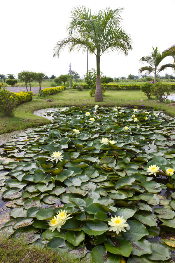 Download Yellow Water Lily Pond With Palm Trees. Stock Image - Image of landscape, grass: 25640109