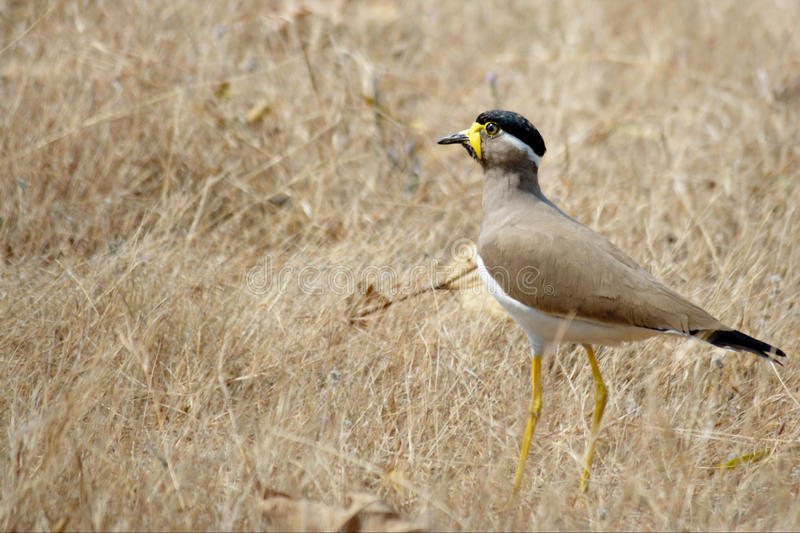 Yellow wattled lapwing stock image