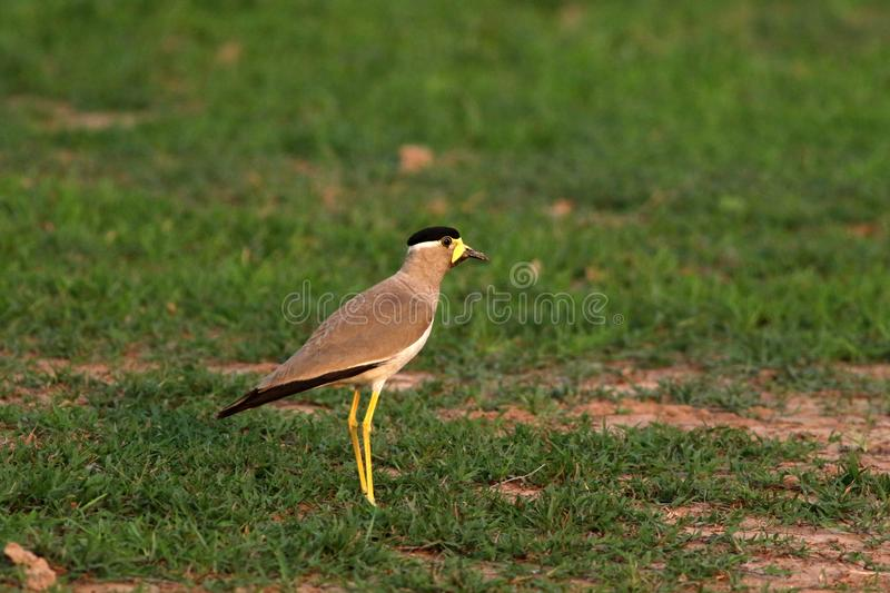 Yellow wattled lapwing royalty free stock images