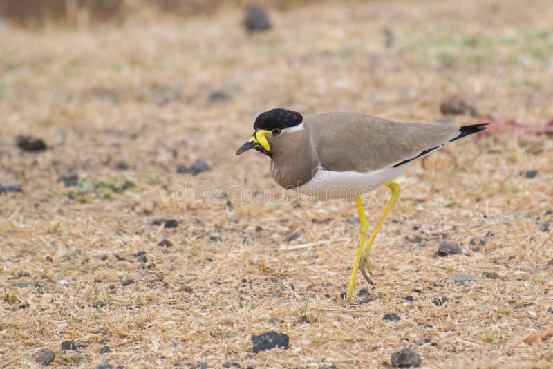 Yellow Wattled Lapwing on dry grassland stock photo