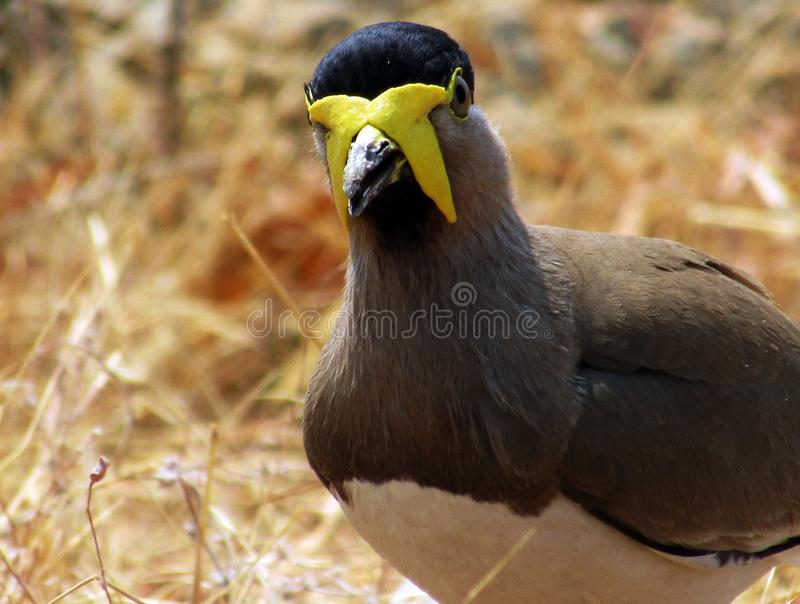 Yellow-wattled lapwing Vanellus malabaricus. Like other lapwings and plovers, they are ground birds. stock photography