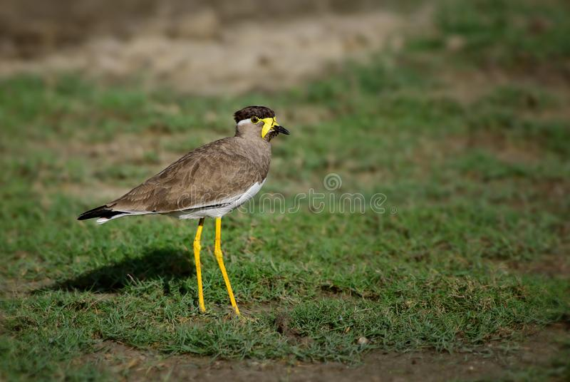 Yellow-wattled Lapwing - Vanellus malabaricus royalty free stock images