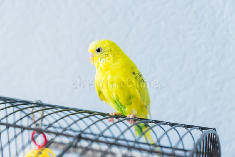 Yellow wavy parrot or budgie sits on the cage on blue background stock photo