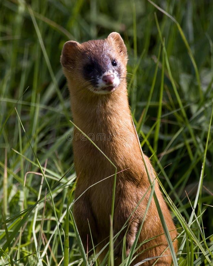 Yellow weasel stock image