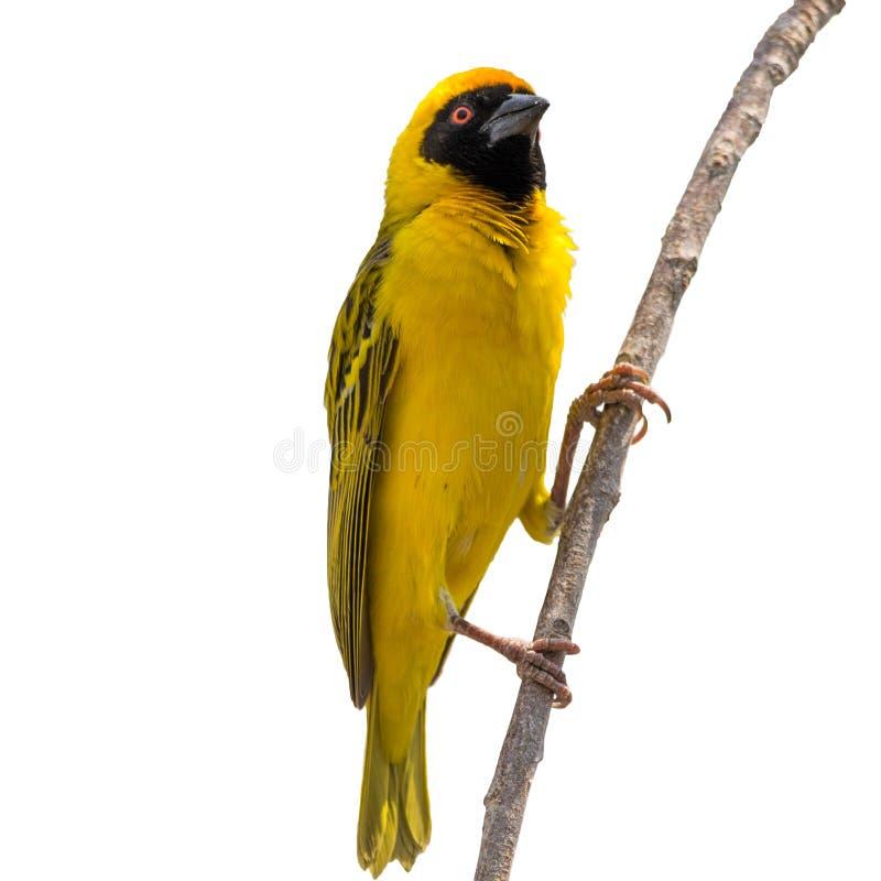 Yellow Weaver bird on tree isolated. On white background stock photos