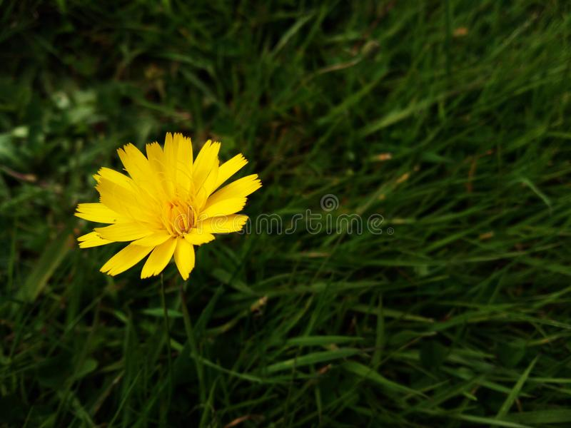 Yellow weed flower royalty free stock image