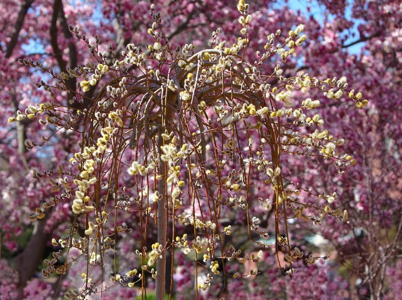 Willow and Magnolia. Yellow Weeping willow over purple magnolia blooming background stock photography