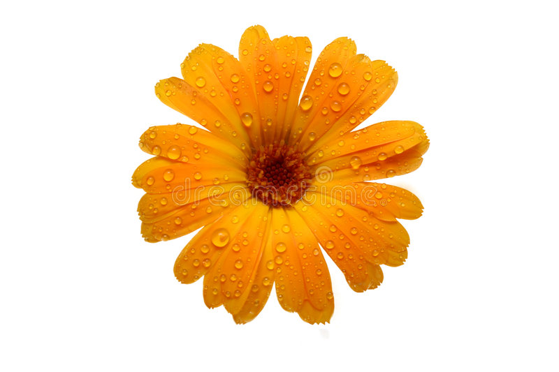 Yellow wet gerber daisy over white stock photo