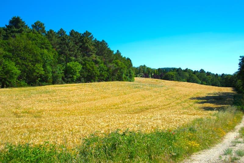 Yellow wheat field royalty free stock image