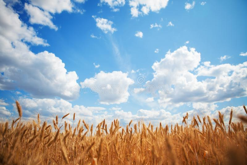 Yellow wheat field on the blue sky and white clouds background. Countryside view. Freedom and carefree concept. Nature beauty, royalty free stock photography