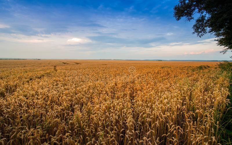 Yellow wheat field at sunset light, evening. Light royalty free stock photography