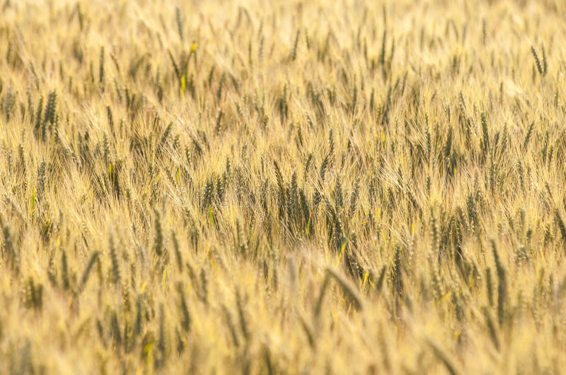 Yellow wheat on a grain field in summer royalty free stock image