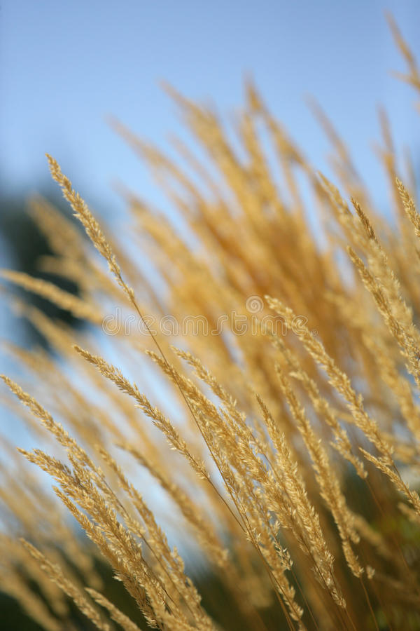 Yellow wheat grass. Yellow wheat glowing in the afternoon sun royalty free stock images