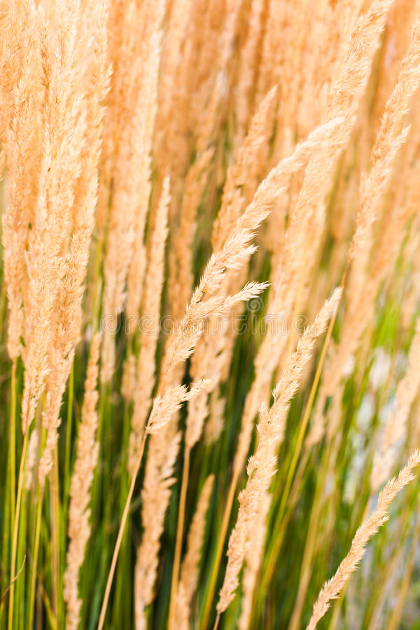 Yellow Wheat Grass. Sways peacefully in the wind royalty free stock image