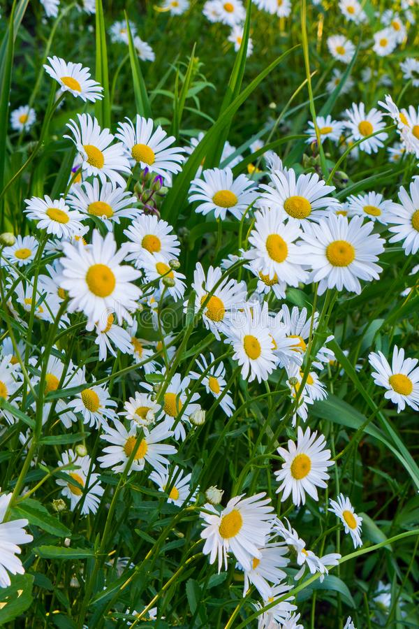 Yellow-white chamomile beauties lurking in tall grass stock photography