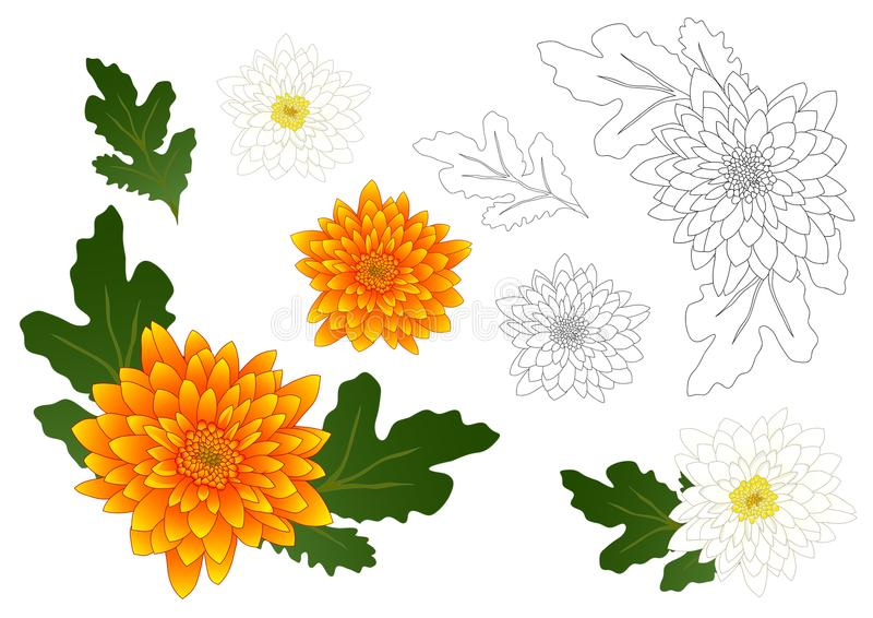 Yellow and White Chrysanthemum Flower Outline. Vector Illustration. isolated on White Background. vector illustration
