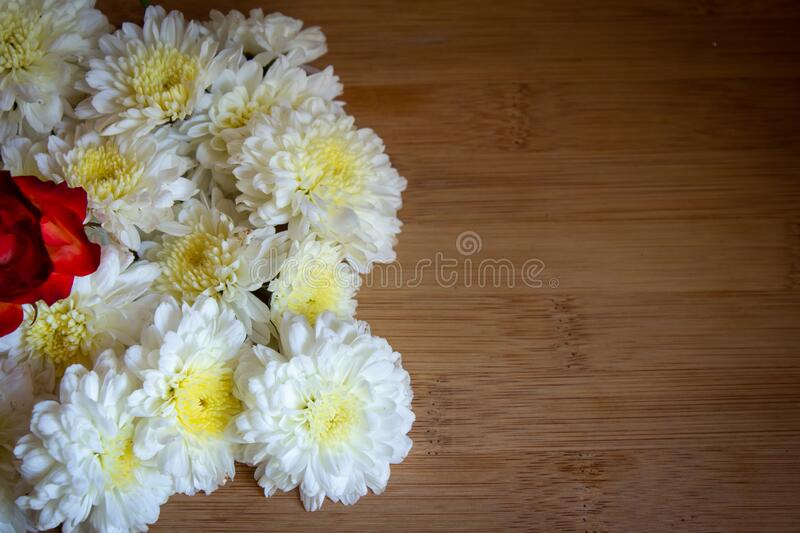 Yellow and white chrysanthemum flowers. Use for flower and nature concepts.  royalty free stock photography