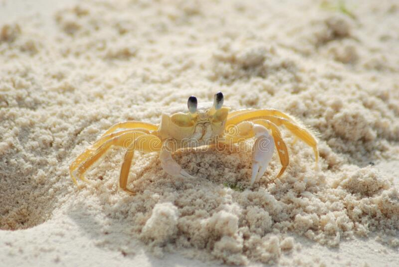 Yellow And White Crab On White Sand Beach During Daytime Free Public Domain Cc0 Image