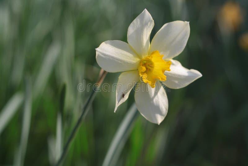 Yellow and white daffodil flower macro stock image image of download yellow and white daffodil flower macro stock image image of garden green mightylinksfo