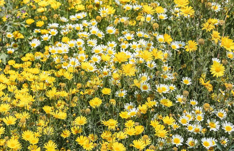 Yellow and white daisy flowers. Yellow and white daisy field close up with a lot of flowers stock image