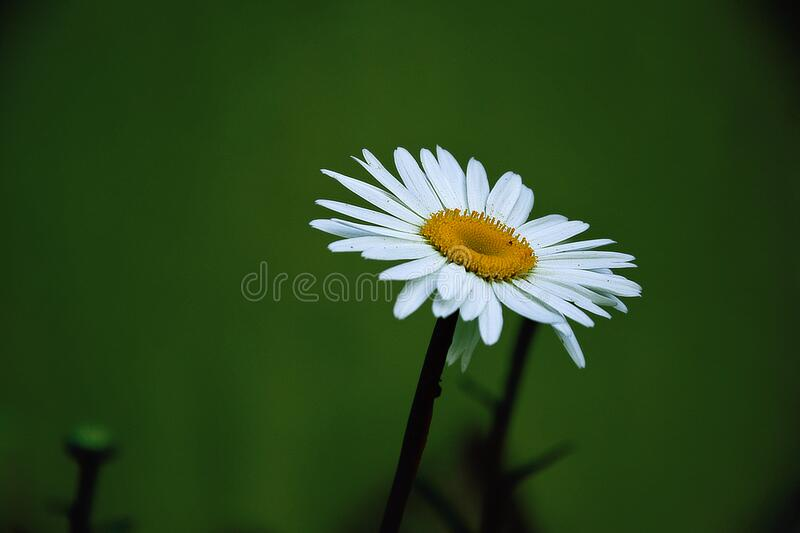 Yellow And White Daisy Flower Free Public Domain Cc0 Image