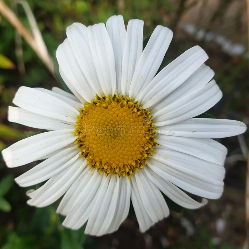 Yellow white Daisy flower in nature. This is a nice Yellow white Daisy flower royalty free stock photo