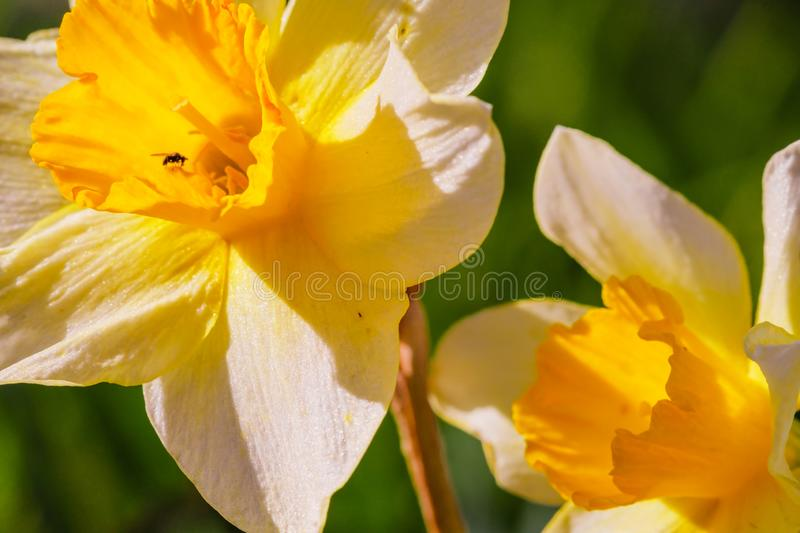 Yellow white Narcissus flower. Narcissus daffodil flowers, green leaves background royalty free stock image