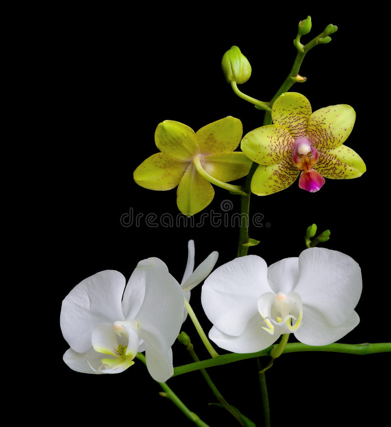 Yellow and white orchids on a black background stock images