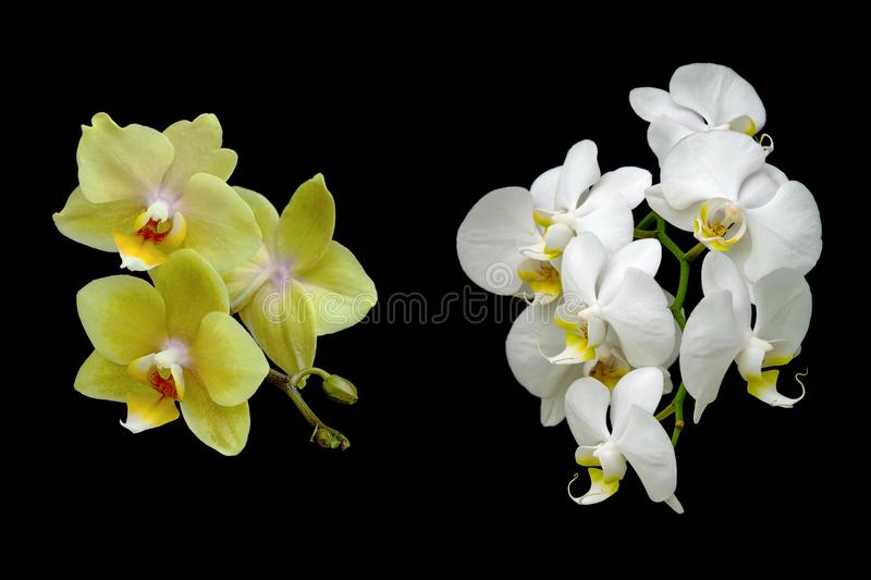 Yellow and white orchids isolated on a black background royalty free stock photo