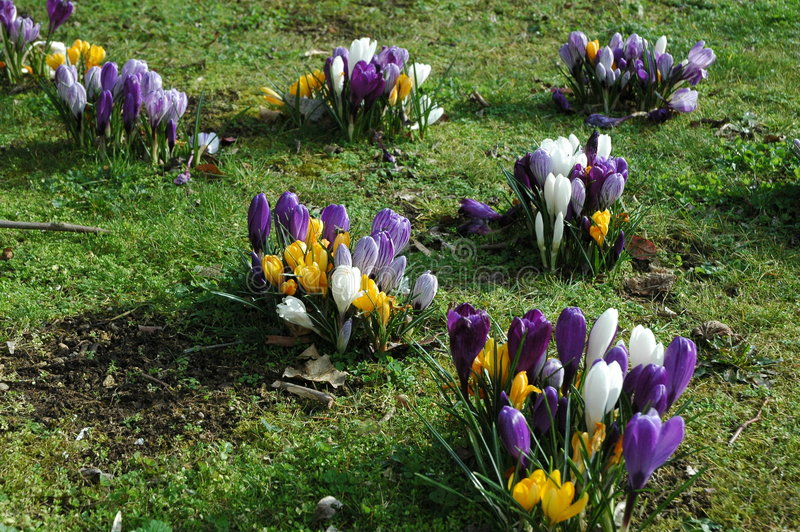 Yellow, white and purple crocus stock photo