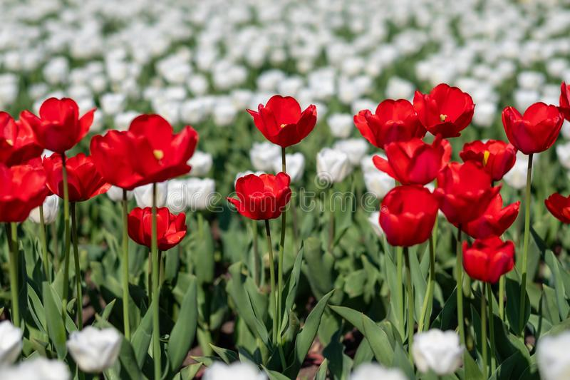 Yellow, white and red tulips growing in a flowerbed royalty free stock photos