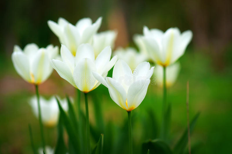 Yellow and white tulips. Close up of yellow and white tulips in spring royalty free stock image