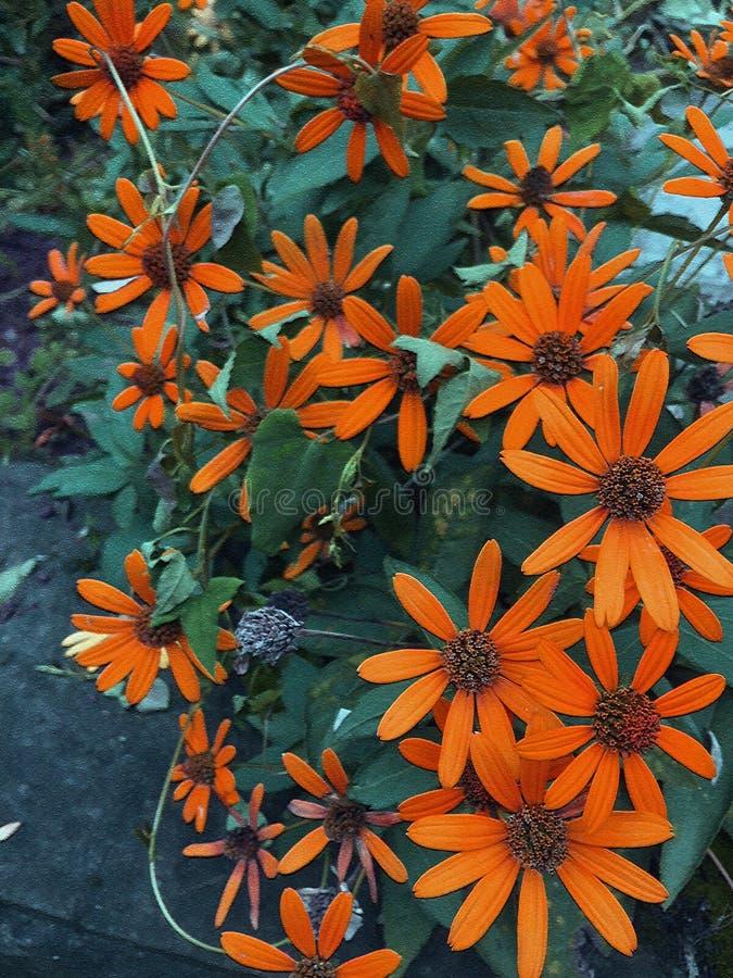 orange wild daisy flower stock image