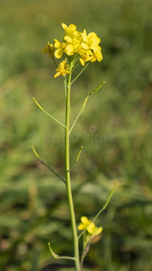 Yellow wild flower in the field. Vertical photography. Fresh nature stock photos