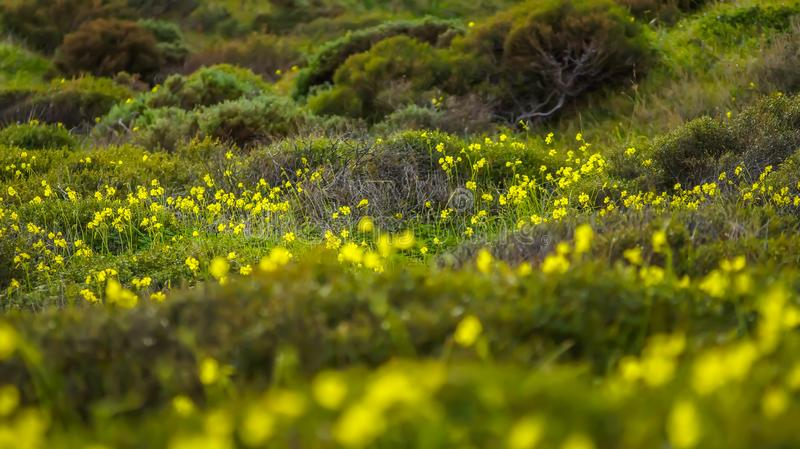 Yellow wild flower meadow. And shrub stock photo
