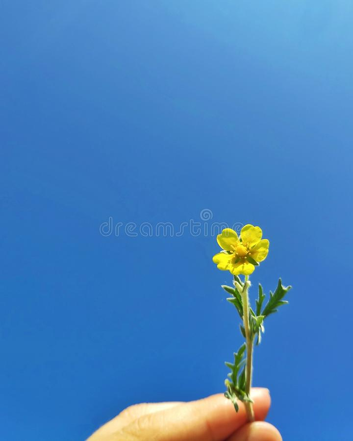 Yellow wild flower royalty free stock photos