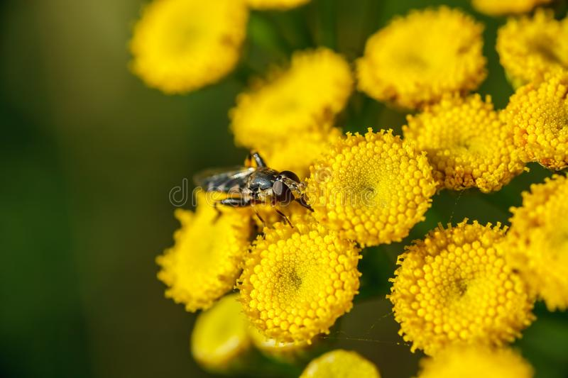 Yellow wild flowers branch with insect macro shot royalty free stock images
