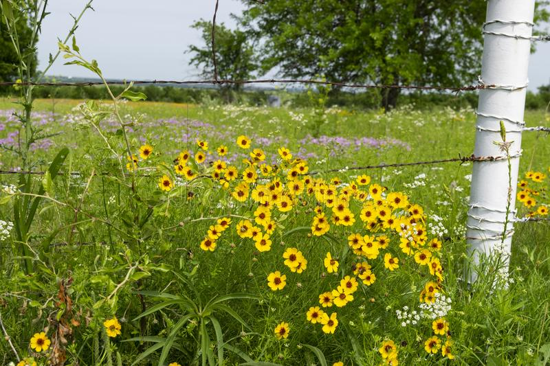 Yellow wild flowers growing on fence by white post royalty free stock images