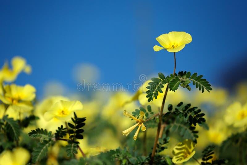 Yellow wild flowers royalty free stock photos