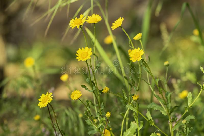 Yellow wild marguerite flowers that are already being woven. By a diligent spider. The plant grows in the middle of a meadow with flowering grass royalty free stock image