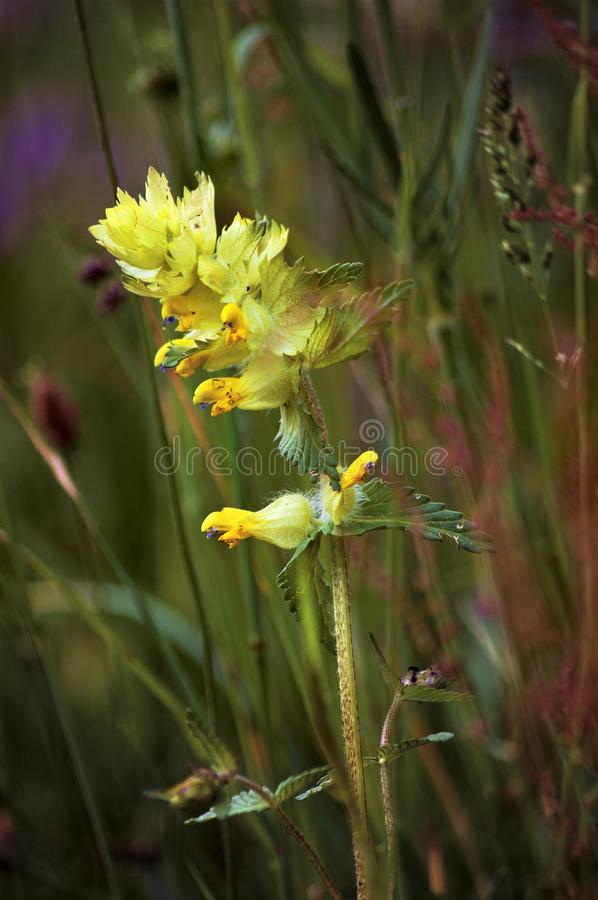Yellow wild orchid in a mountain meadow stock photos