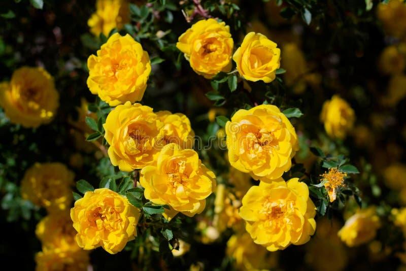 yellow wild rose bush in bloom stock photo