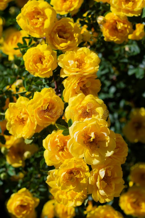 yellow wild rose bush in bloom. Vertical view stock photography