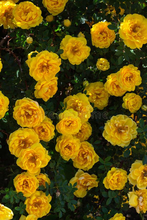 yellow wild rose bush in bloom. Vertical view stock images