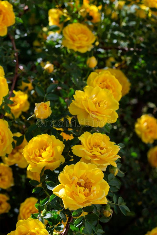 yellow wild rose bush in bloom. Vertical view stock photos